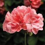 Interspecific Geranium, Calliope: Large Salmon