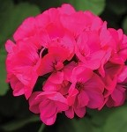 Interspecific Geranium, Calliope: Deep Rose