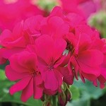 Interspecific Geranium, Calliope Medium Violet
