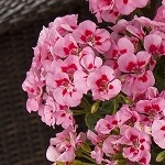 Interspecific Geranium, Calliope: Pink Flame