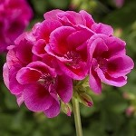 Interspecific Geranium, Calliope: Lavender Mega Splash