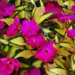 Spreading Impatiens, Sunpatiens: Variegated Tropical Rose