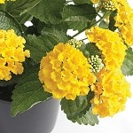 Lantana, Bandana: Yellow