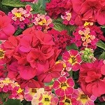 Magenta Magic Perfect Planter Designer Combination