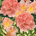 Peach Paradise Perfect Planter Designer Combination