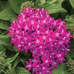 Pentas, Lucky Star Raspberry