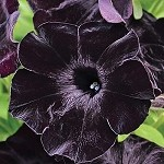 Petunia, Sweetunia Black Satin