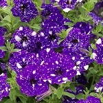 Petunia, Designer Headliner Night Sky