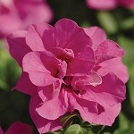 Double Petunia, Double Wave: Rose