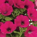 Petunia, Sweetunia Hot Pink