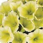Petunia, Potunia Plus Yellow