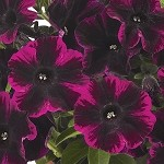 Petunia, Sweetunia Johnny Flame