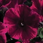 Petunia, Designer Sweetunia Johnny Flame