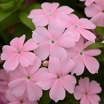Phlox, Gisele: Light Pink