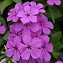 Phlox, Gisele: Light Violet