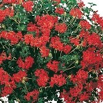Alpine Ivy Geranium, Cascade: Bright Red