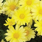 Argyranthemum, Beauty: Yellow