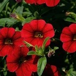 Calibrachoa, Neo: Cherry Red
