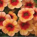 Calibrachoa, Neo: Orange Red Eye