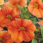 Calibrachoa, Aloha Kona: Hot Orange