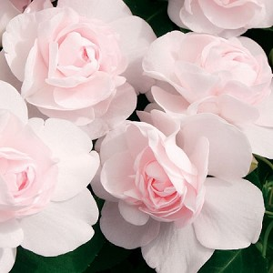 Double Impatiens, Fiesta: Apple Blossom