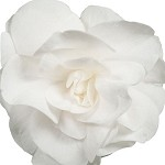 Double Impatiens, Fiesta: White