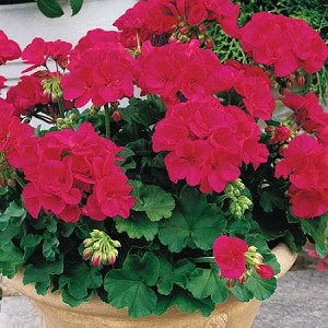 Zonal Cutting Geranium, Americana: Cherry Rose