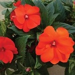 Upright Impatiens, Sunpatiens: Electric Orange