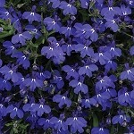 Lobelia, Magadi Basket Blue