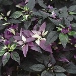 Ornamental Pepper, Purple Flash