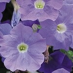 Mounding/Trailing Petunia, Surfinia: Sky Blue
