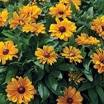 Rudbeckia, Tiger Eye