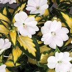 Spreading Impatien, Sunpatien: Variegated White