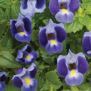 Torenia, Summer Wave Bouquet: Blue