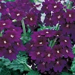 Verbena, Lanai: Deep Purple