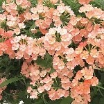Verbena, Empress Flair Peach