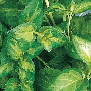 Vinca Vine, Maculata: Green & Yellow