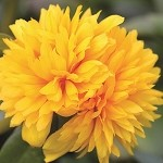 Portulaca, Colorblast: Double Yellow