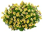 Torenia, Summer Wave Bouquet: Gold