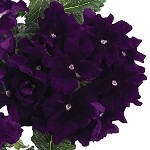 Verbena, Empress Imperial Blue