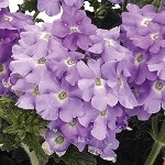 Verbena, Empress Flair  Lavender Blue
