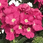 Verbena, Empress Flair Pink Charme