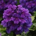 Verbena, Endurascape Dark Purple