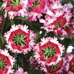Verbena, Lanai: Twister Red