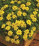 Bidens, Bee Dance Yellow