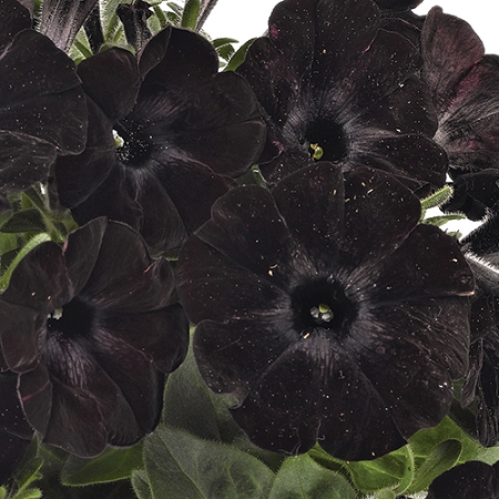 Sweetunia Petunia Black Satin Great For Container Gardening