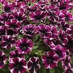Petunia, Sweetunia Miss Marvelous