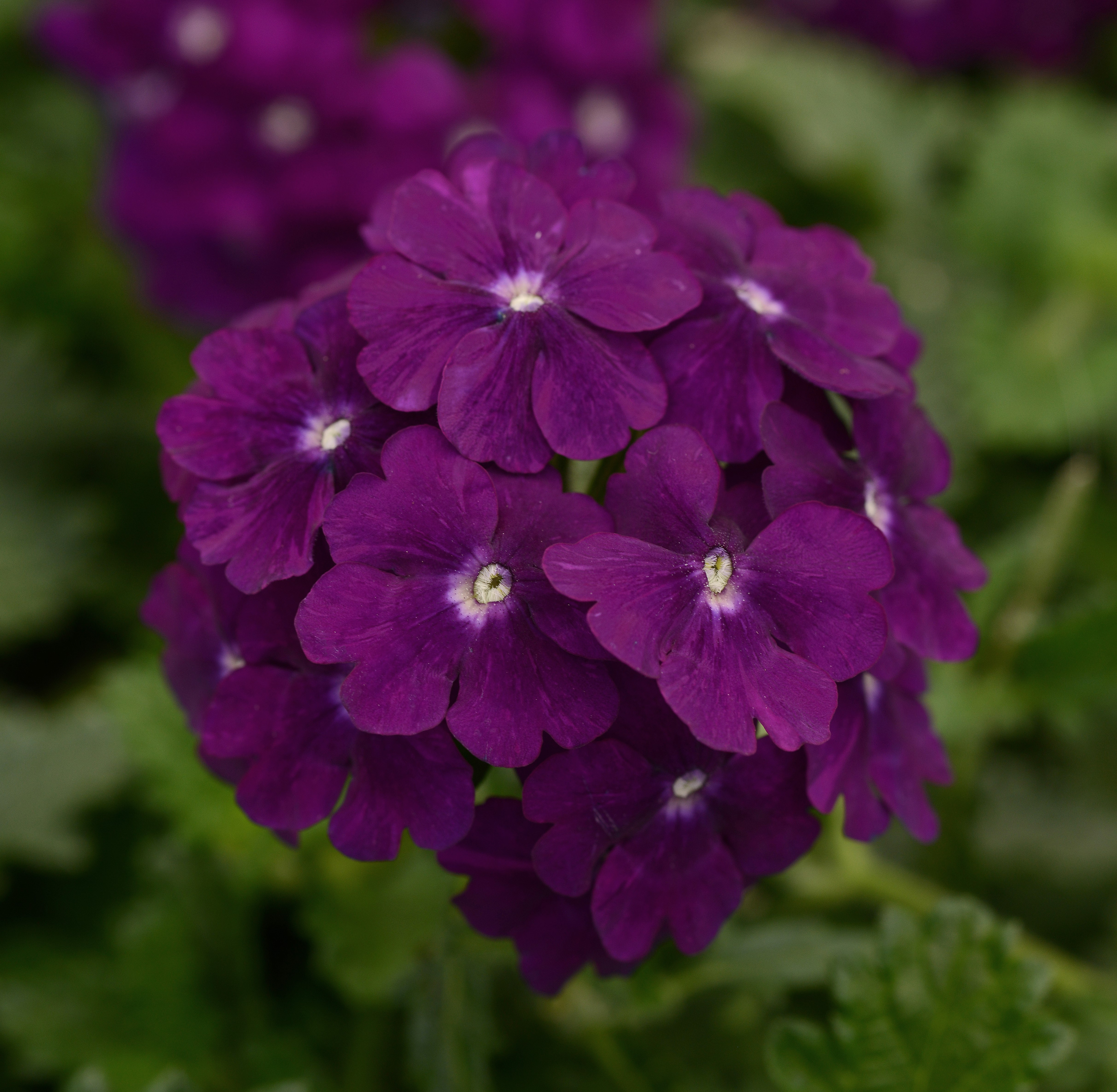 Verbena, Firehouse Purple