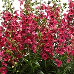 Angelonia Archangel Cherry Red