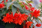 Begonia, Belleconia Hot Orange
